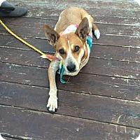 Adopt A Pet :: Shyla - San Antonio, TX