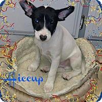 Adopt A Pet :: Hiccup in California - Lansing, MI
