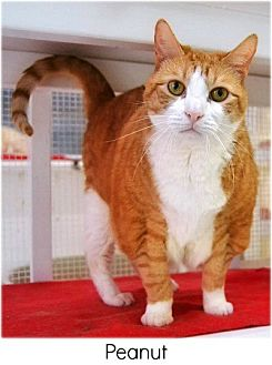 Domestic Shorthair Cat for adoption in Huntington, New York - Peanut