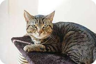 Domestic Shorthair Cat for adoption in New York, New York - Bruce *URGENT COURTESY POST*