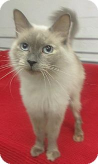 Siamese Cat for adoption in Elkins, West Virginia - Claire