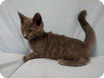 Russian Blue Kitten for adoption in Hockessin, Delaware - Sterling