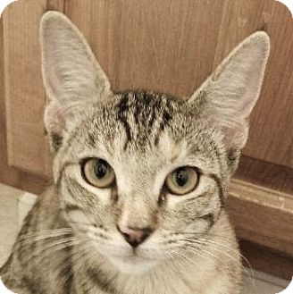 Domestic Shorthair Kitten for adoption in Davis, California - Phoenix
