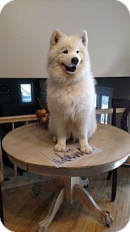 Samoyed Dog for adoption in Arlington Heights, Illinois - Angel