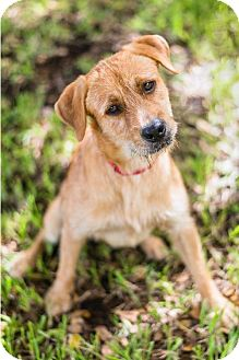 Terrier (Unknown Type, Medium)/Labrador Retriever Mix Dog for adoption in Miami, Florida - Buzzer