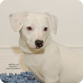 Terrier (Unknown Type, Small) Mix Puppy for adoption in Naperville, Illinois - Snowball