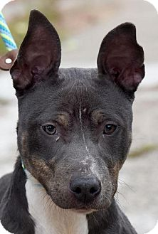 Doberman Pinscher/American Pit Bull Terrier Mix Dog for adoption in New Haven, Connecticut - DOBSON