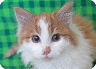 Domestic Longhair Kitten for adoption in Lloydminster, Alberta - Lyel