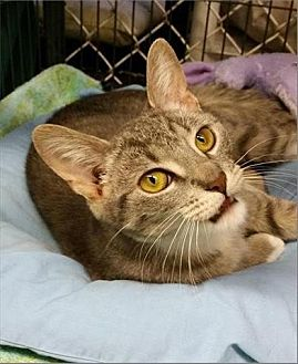 Domestic Shorthair Cat for adoption in Freeport, New York - Meeshu