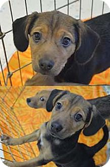 Jack Russell Terrier Mix Puppy for adoption in Chantilly, Virginia - Ivy Pup Idelle