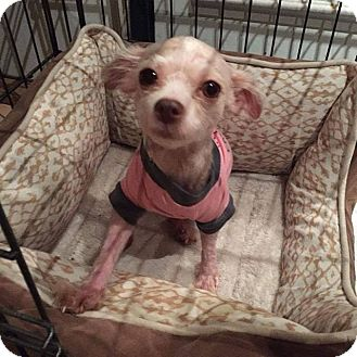 Maltese/Poodle (Toy or Tea Cup) Mix Dog for adoption in Houston, Texas - Stella