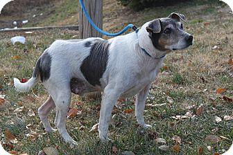 Jack Russell Terrier Mix Dog for adoption in Staunton, Virginia - Tony