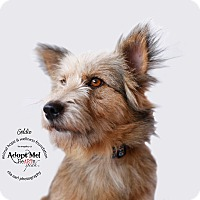 Adopt A Pet :: Goldie - Sherman Oaks, CA