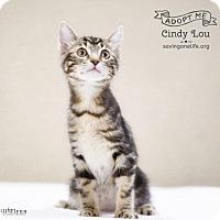Adopt A Pet :: Cindy Lou - Chandler, AZ