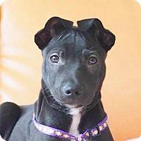 Adopt A Pet :: Simon - San Ramon, CA