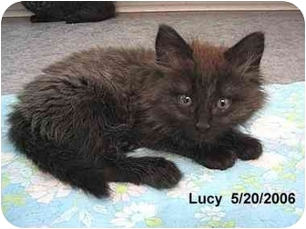 Domestic Longhair Kitten for adoption in AUSTIN, Texas - Lucy