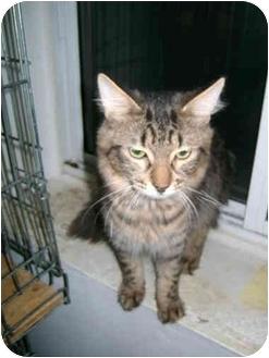 Domestic Mediumhair Cat for adoption in Etobicoke, Ontario - Silvester