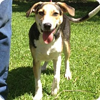 Beagle/Hound (Unknown Type) Mix Dog for adoption in Slidell, Louisiana - Nicky