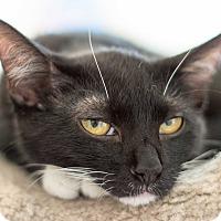 Adopt A Pet :: Aubergines - Chicago, IL