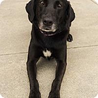 Labrador Retriever Mix Dog for adoption in Mooresville, North Carolina - October