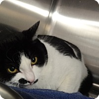 Domestic Shorthair Cat for adoption in Tucson, Arizona - JADE