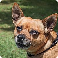 Adopt A Pet :: Robbie - St Helena, CA