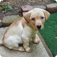 Adopt A Pet :: Betty - Honey's pup - Spartanburg, SC