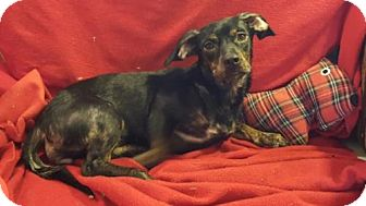 Dachshund/Beagle Mix Dog for adoption in Vacaville, California - Skeeter