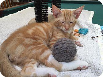 Domestic Shorthair Kitten for adoption in Burlington, North Carolina - MOE