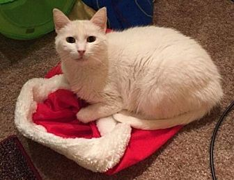 Domestic Shorthair Cat for adoption in Evergreen, Colorado - Snow - courtesy listing