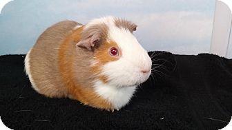 Guinea Pig for adoption in Aurora, Colorado - Springfield
