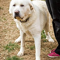 Great Pyrenees/Labrador Retriever Mix Dog for adoption in Enfield, Connecticut - Chance