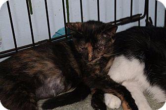 Domestic Shorthair Cat for adoption in Ann Arbor, Michigan - Camille