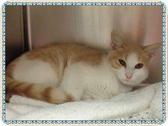 Domestic Shorthair Cat for adoption in Marietta, Georgia - FELIX