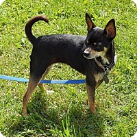Chihuahua Dog for adoption in Mankato, Minnesota - Tea Tea