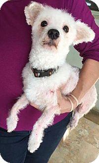 Poodle (Miniature)/Bichon Frise Mix Dog for adoption in Sharon Center, Ohio - Dr. Seuss