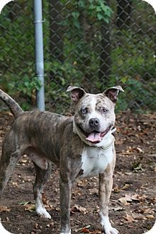 Catahoula Leopard Dog Mix Dog for adoption in Brookhaven, New York - Ramsey