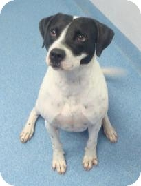 Pointer Mix Dog for adoption in Gainesville, Florida - Jesse