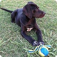 Adopt A Pet :: *Cindy Brady - PENDING - Westport, CT