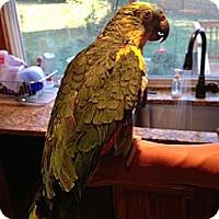 Adopt A Pet :: BJ - St. Louis, MO