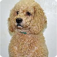 Adopt A Pet :: Bo - Port Washington, NY