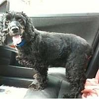 Adopt A Pet :: Jasper - Toronto/Etobicoke/GTA, ON