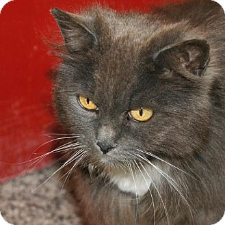 Domestic Longhair Cat for adoption in Eastsound, Washington - Esther