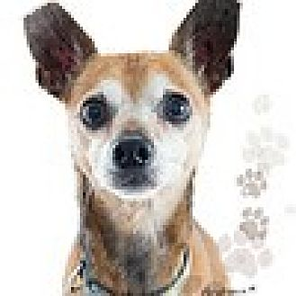 Chihuahua Mix Dog for adoption in Fountain Valley, California - Romeo