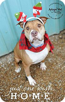 Pit Bull Terrier Dog for adoption in Liberty, Missouri - Edna