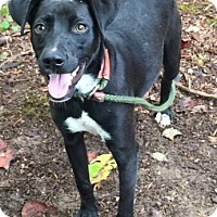 Adopt A Pet :: Trixie - Brattleboro, VT