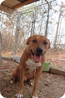 Mountain Cur Mix Dog for adoption in East Dover, Vermont - Sprint