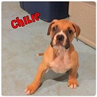 Adopt A Pet :: Chilie - Plainfield, IL