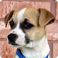 Adopt A Pet :: Marshall-Adoption pending - Bridgeton, MO