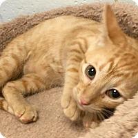 Adopt A Pet :: Venus - St. Louis, MO